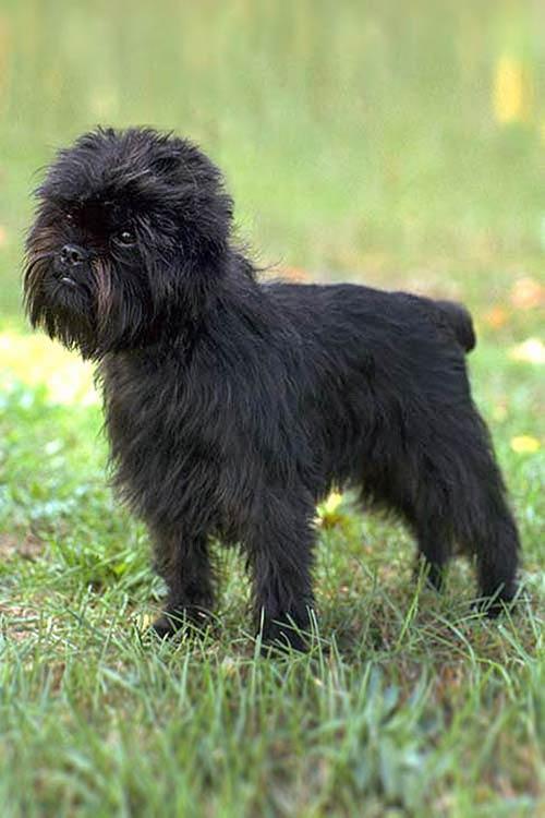 Anjing Affenpinscher puppy