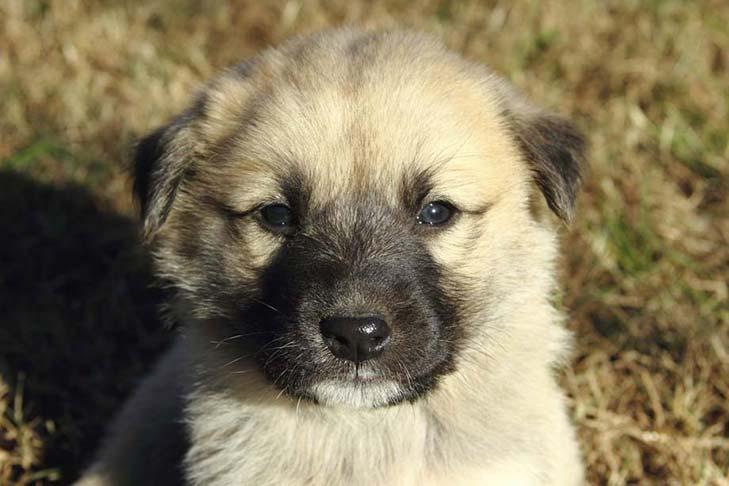 Anjing Anatolian Shepherd dog