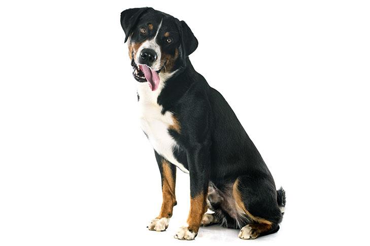 Anjing Appenzeller Sennenhund