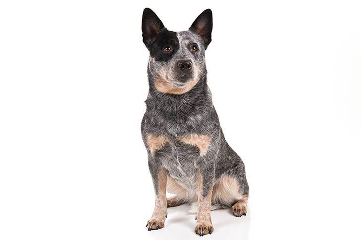 anjing Australian Cattle Dog hair