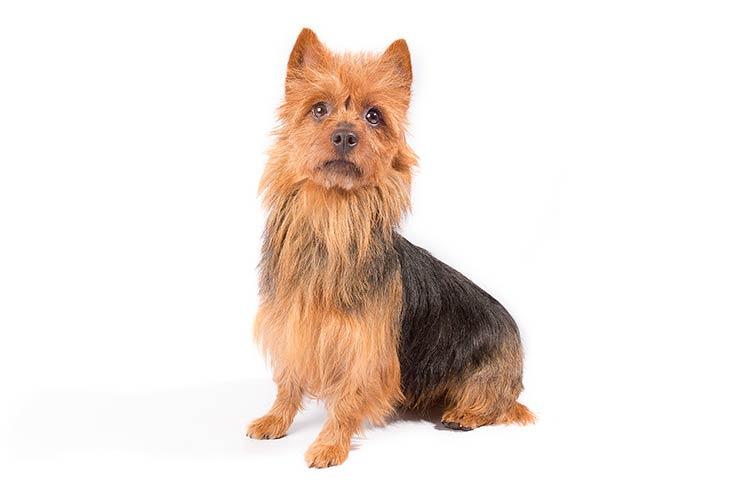 Anjing Australian Terrier