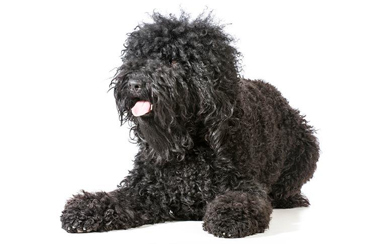 anjing barbet