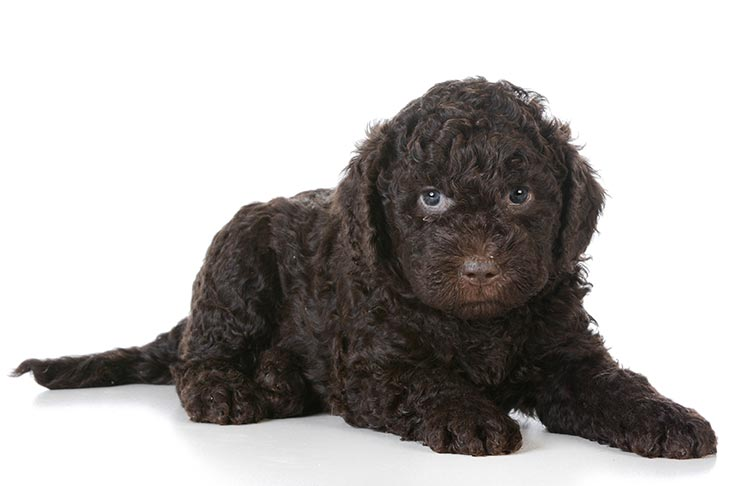 anjing barbet puppy