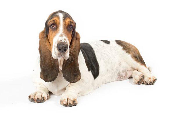 Anjing basset Hound