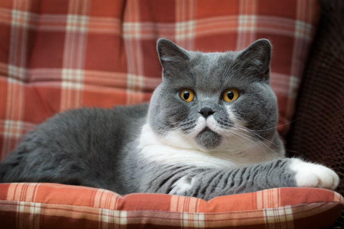 Kucing bulu pendek britania