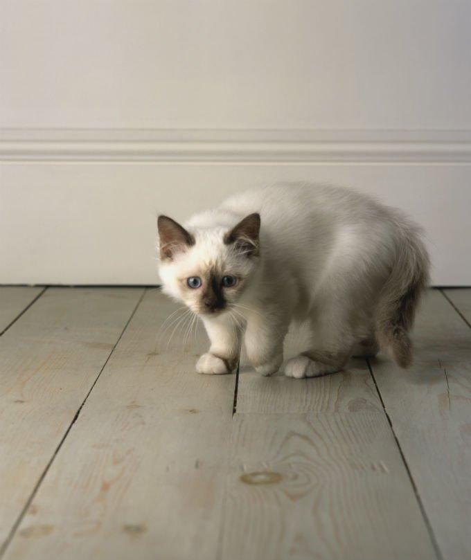 Foto Kucing Balinese