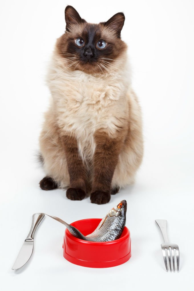 Kucing Balinese lucu