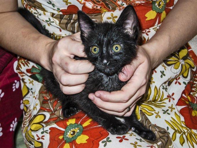 Kucing Bombay kitten lucu
