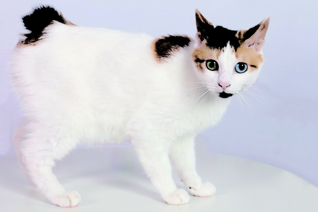 Kucing Japanese Bobtail