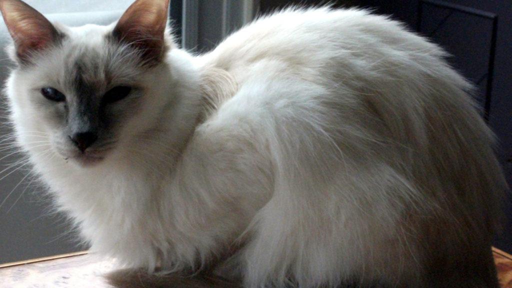 Kucing Javanese