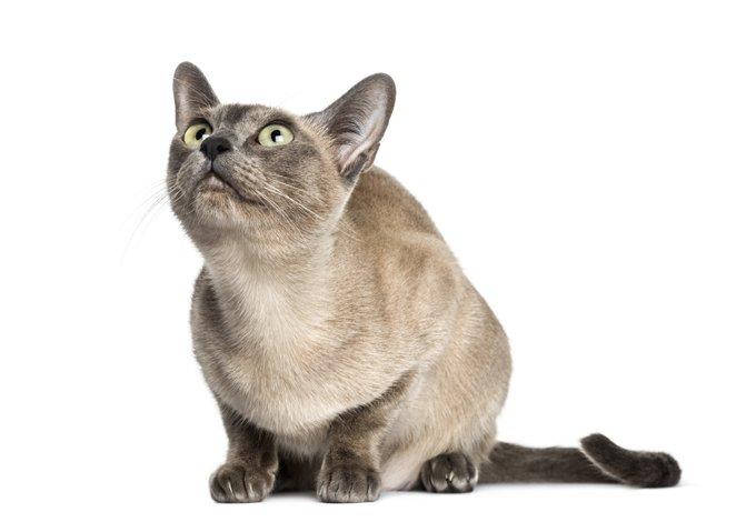 Kucing Tonkinese