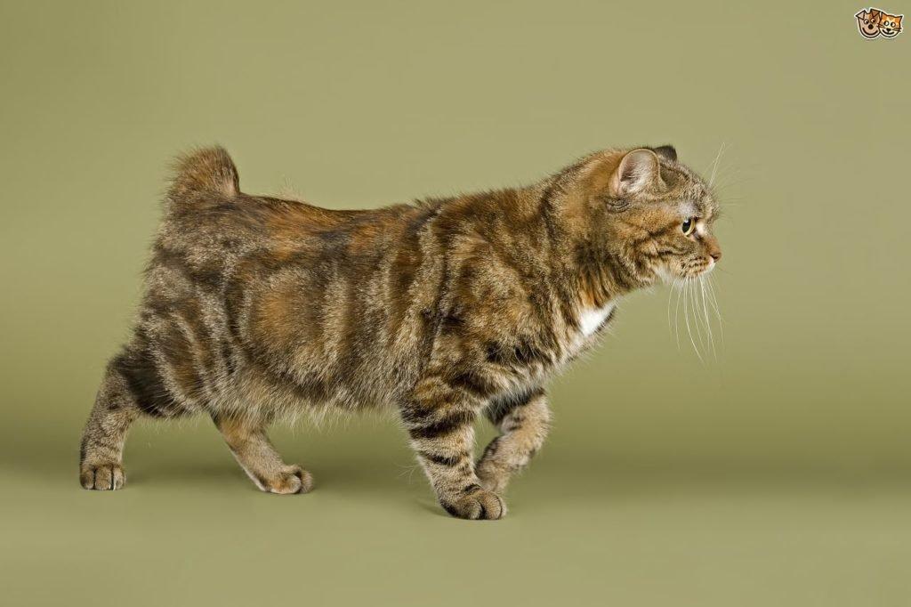 Ras kucing Cymric