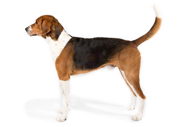 Anjing american FOXHOUND