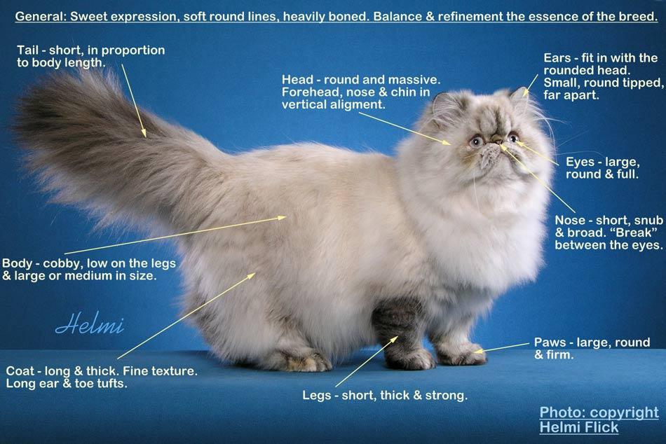 anatomi kucing persia