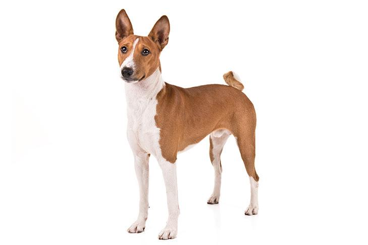 foto anjing Basenji