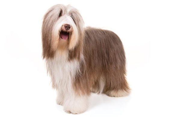 anjing Bearded Collie