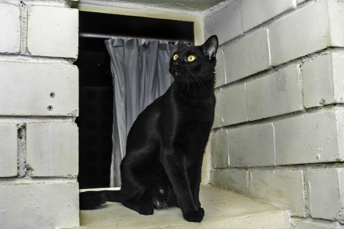 bulu Kucing Bombay