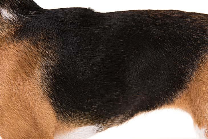Bullu anjing Beagle