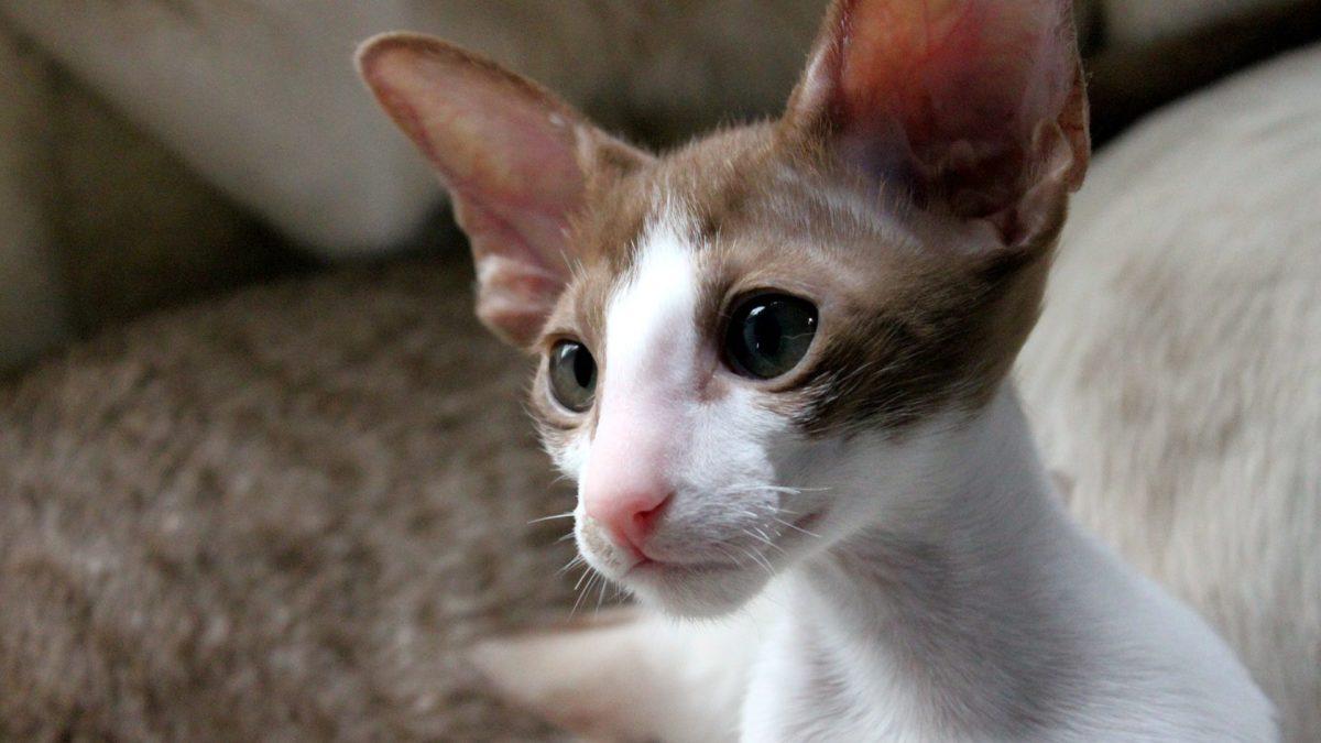 Kucing Oriental