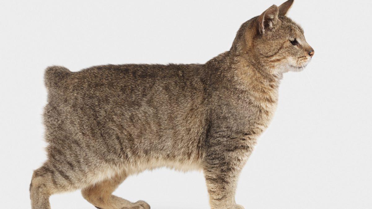 Kucing Pixie-Bob