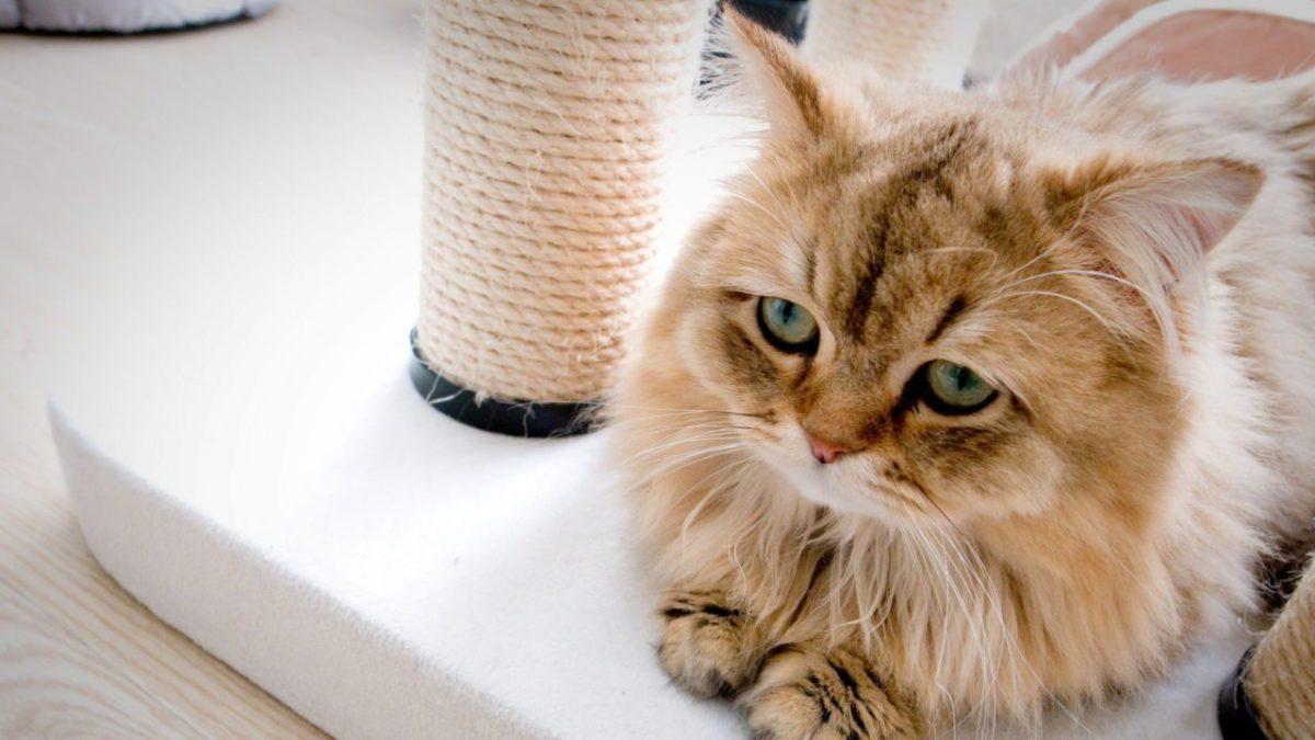 Penyebab dan Ciri-Ciri Kucing Stress