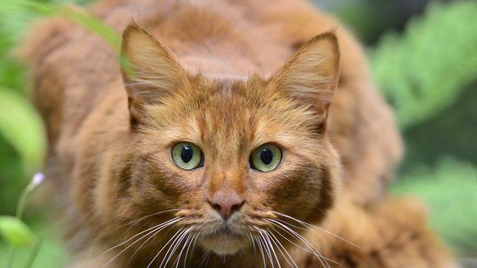 Kucing Somali
