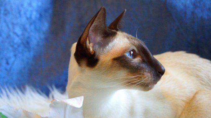 Sejarah Kucing Siamese Cat Dan Harganya Di Pasaran Info Binatang