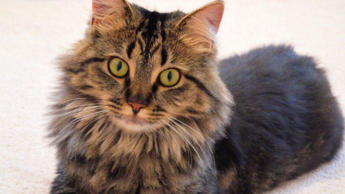 Kucing Maince Coon