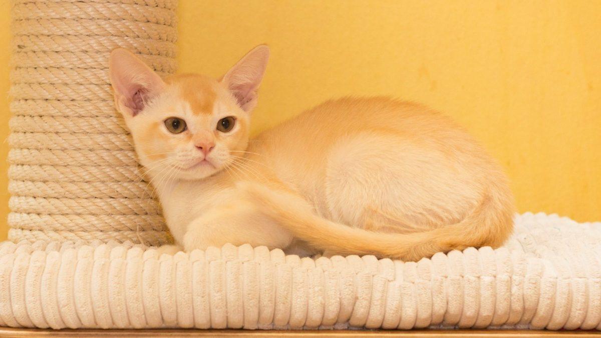 Kucing European Burmese