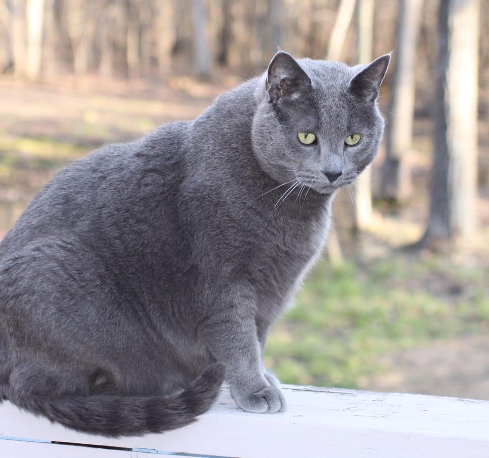 foto Kucing Russian Blue