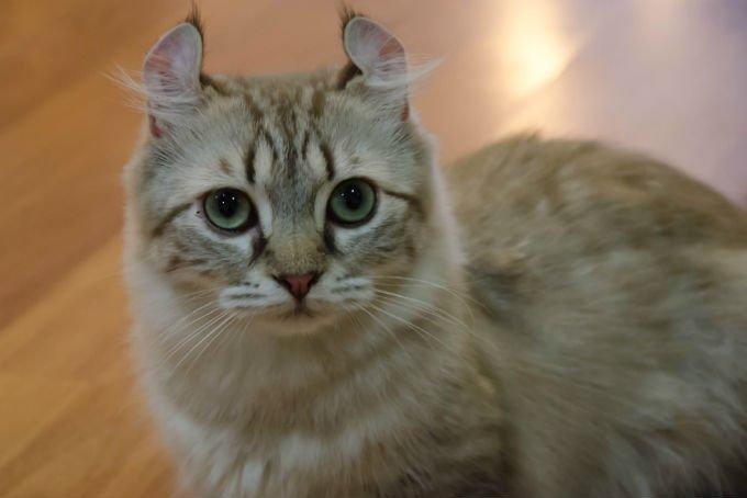 foto kucing american curl