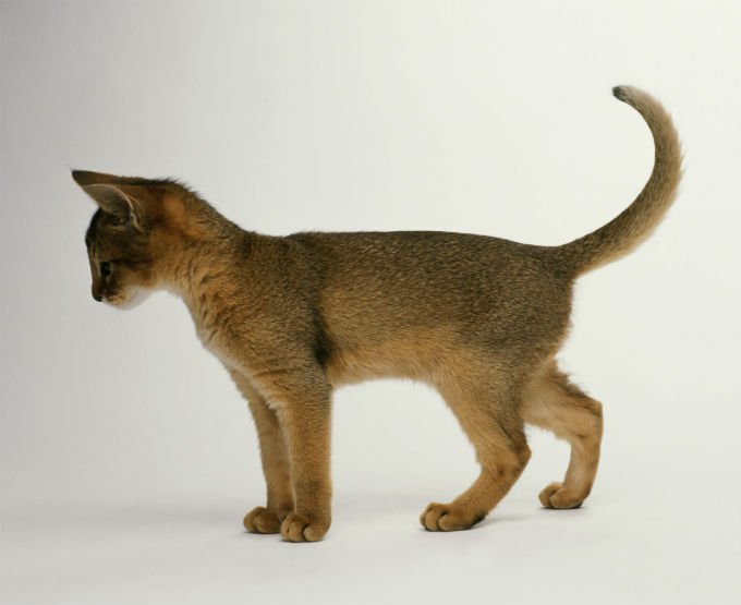 foto sendiri kucing Abyssinian