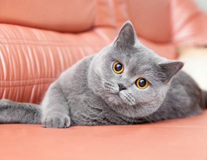 Kucing british Shorthair