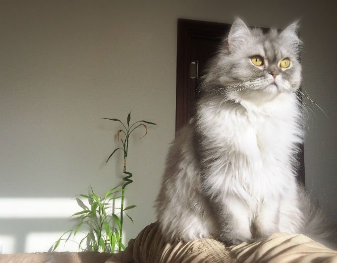Kucing Persian