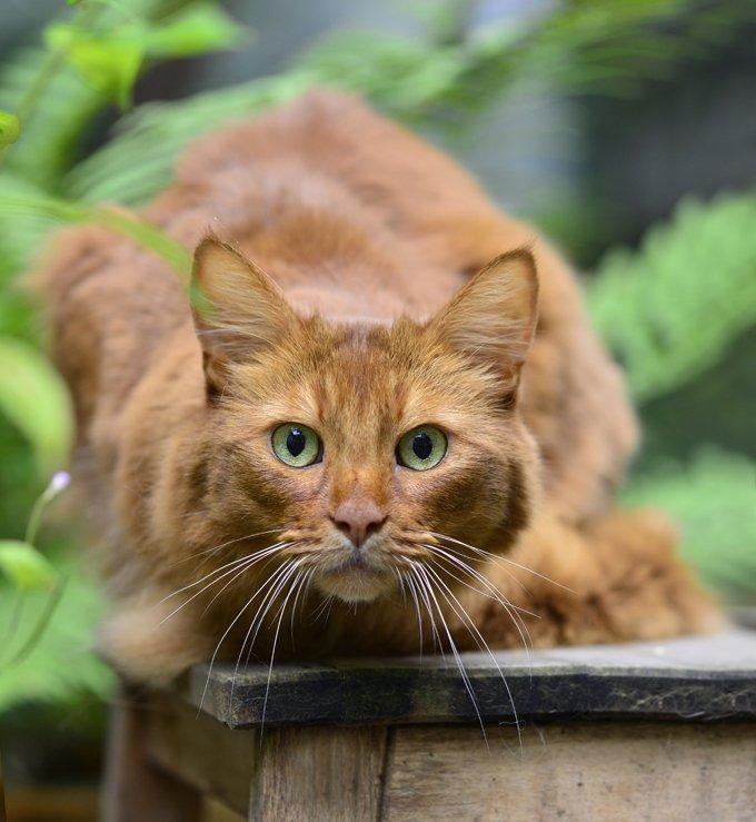 Kucing Samali