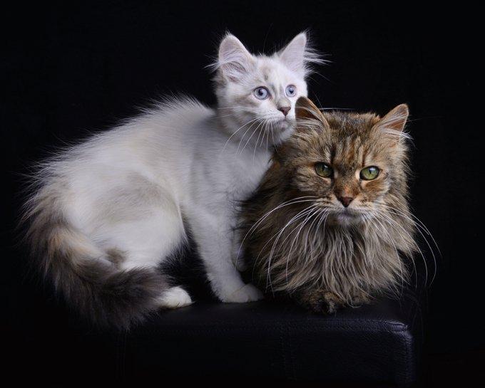 Kucing Siberian