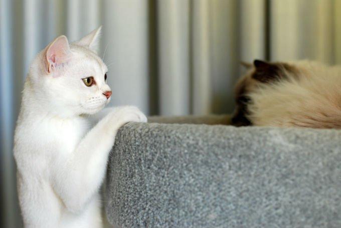kucing burmillia kecil