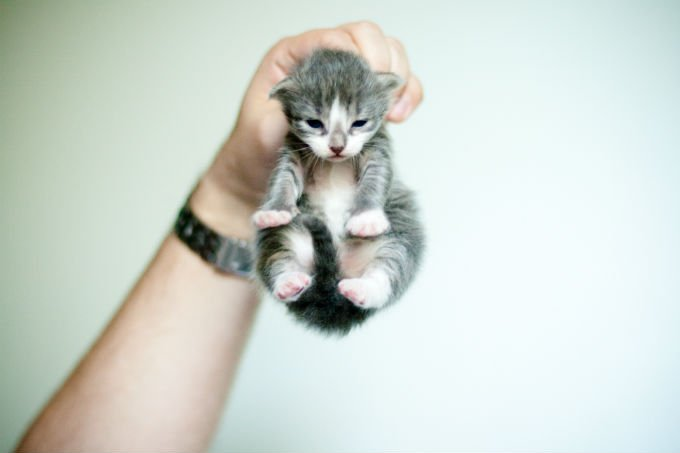 kitten kucing american curl