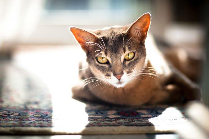 kucing Abyssinian terbaru