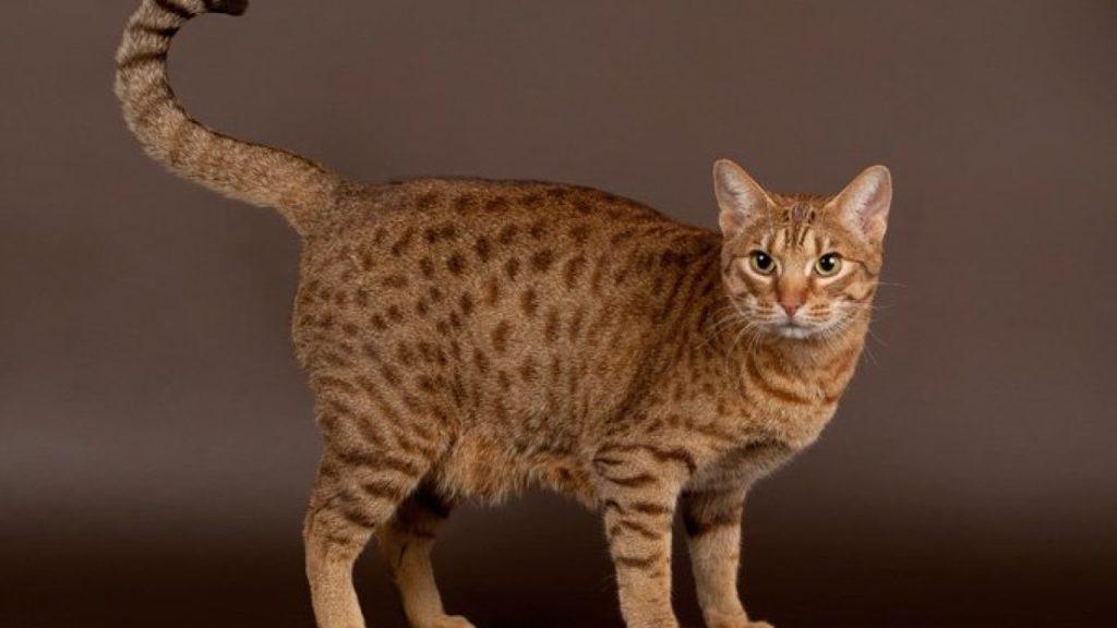 Kucing Ocicat