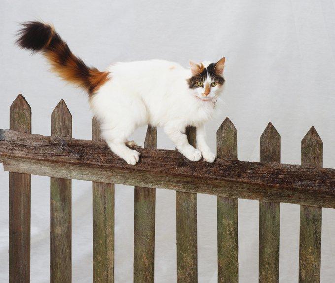 Kucing Turkish Van