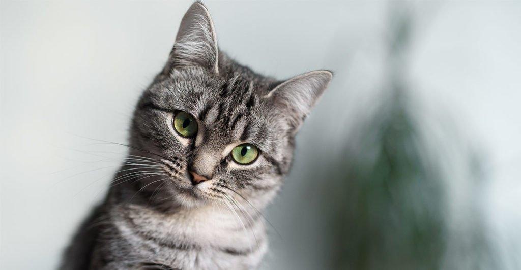 kucing american shorthair terbai