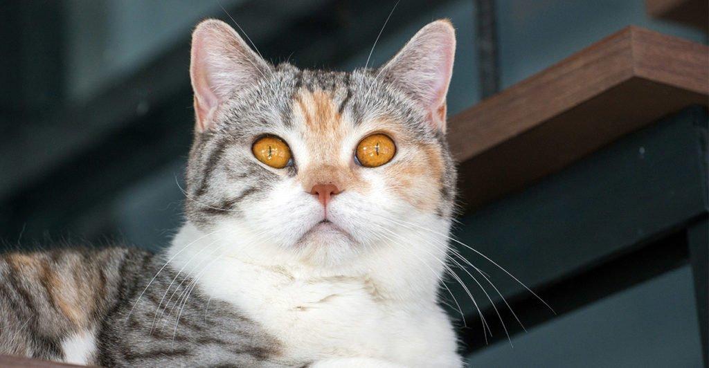 kucing american wirehair laki-laki