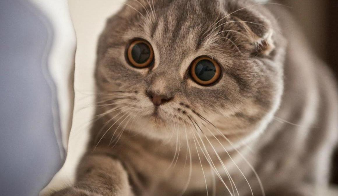 Harga Kucing Scottish Fold Tidak Mahal Kok Simak Disini Info Binatang
