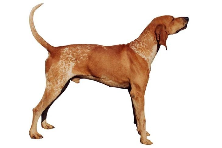 puppy american english coonhound