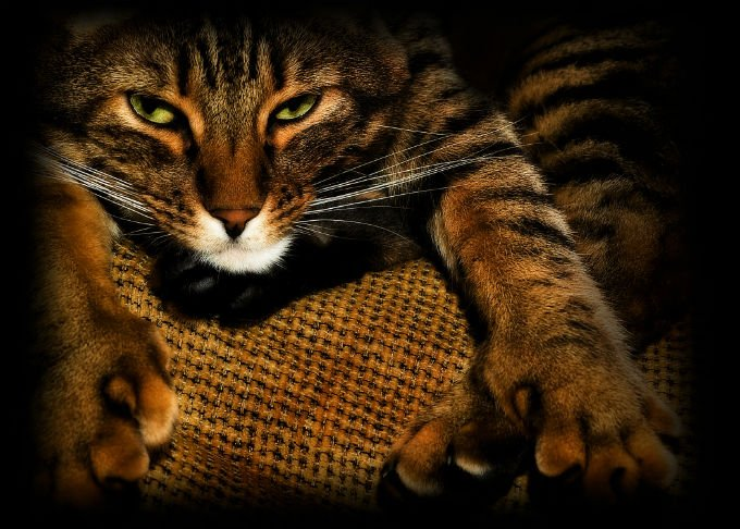 wajah Kucing American Bobtail