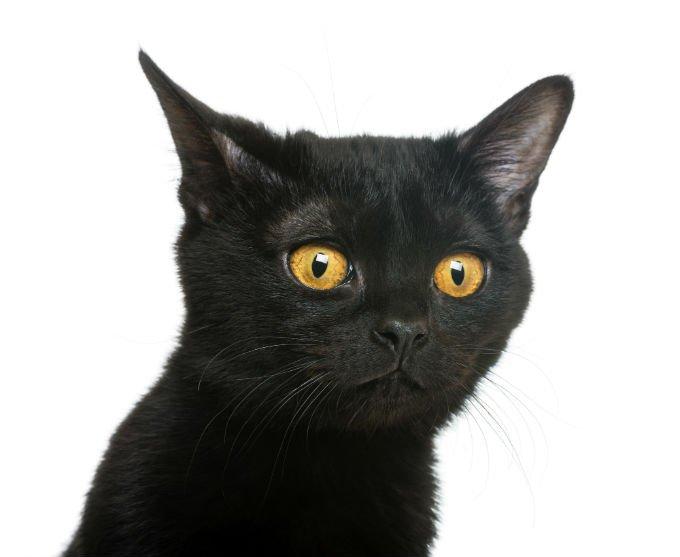 wajah Kucing Bombay