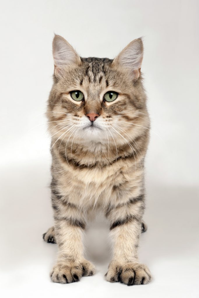 kucing pixie bob