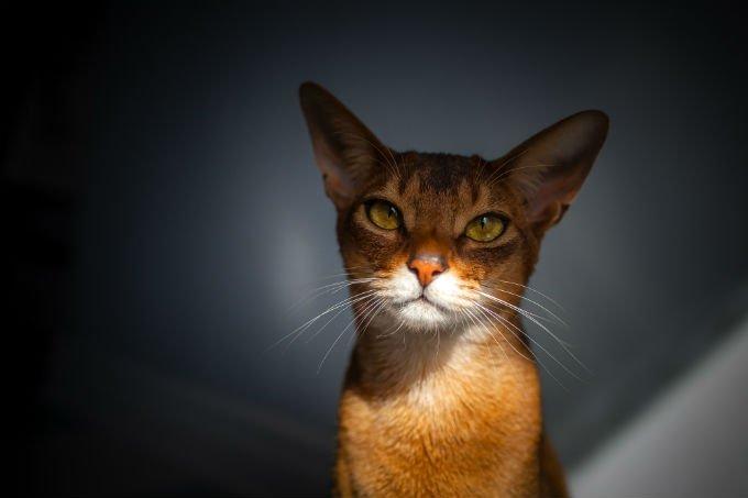 wajah kucing Abyssinian