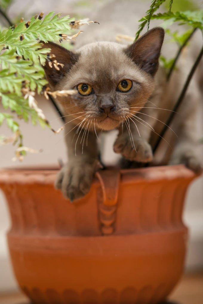 Kucing burmese